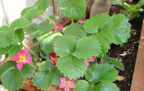 The Ornamental Strawberry (Fragaria x. Lipstick) rebounds