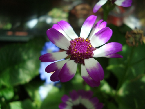 Cineraria - beautiful