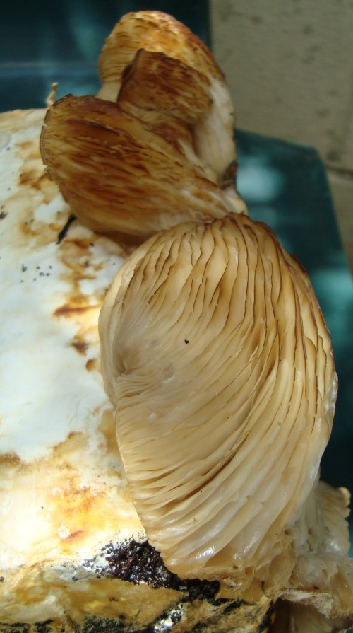 Yummy Oyster Mushrooms