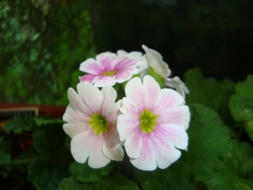Primula; Pretty in Pink