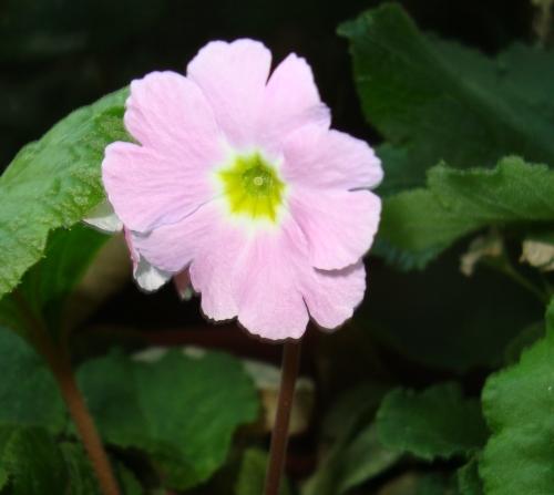 Primula making a comeback