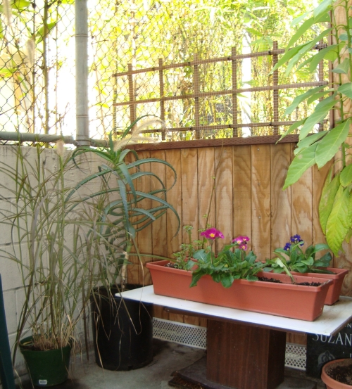 Pennisetum and Aloe Vera