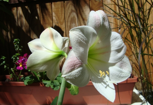 Amaryllis v. Apple Blossom, enjoying the warm sunshine