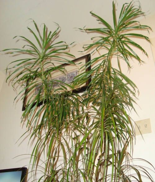The Dracena continue to head for the ceiling!