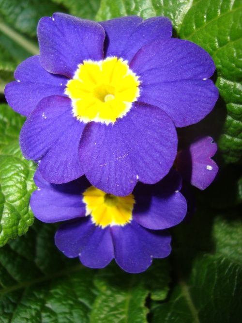 Pacific Giant Blue Primrose