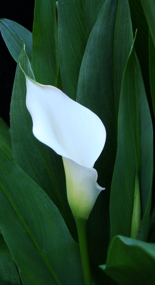 Silhouette of Calla